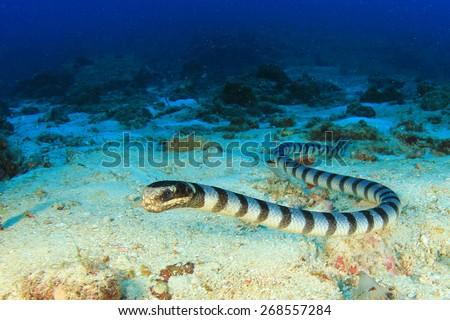 Banded Sea Snake #268557284