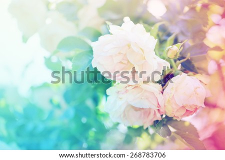 Flower background  with garden of beautiful roses/ toned picture