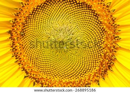 Close up sun flower #268895186