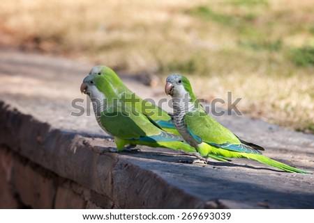 Monk Parakeet (Myiopsitta monachus) #269693039