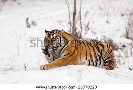 Groom siberian tiger on a snowy rock in China. #26970220