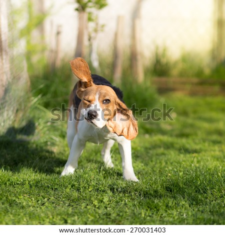 Funny Beagle dog shaking his head #270031403