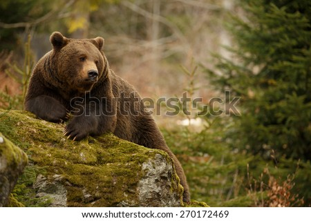 A brown bear in the forest. Big Brown Bear. Bear sits on a rock. Ursus arctos. #270172469