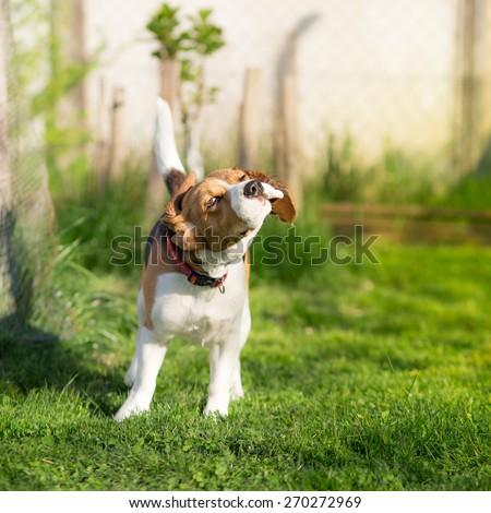 Shaking Beagle dog #270272969