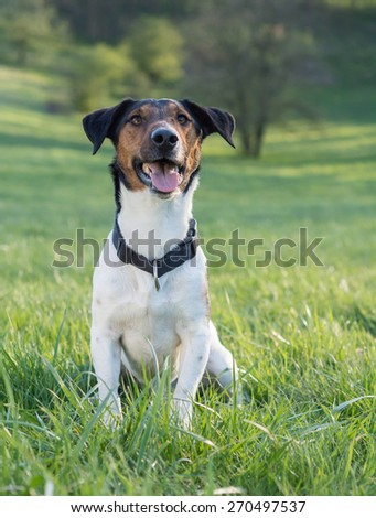 Jack Russell Terrier sitting on the grass #270497537