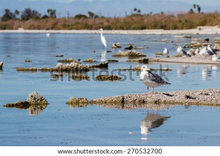 The Salton Sea in southern California is home to numerous birds, in this picture are some seagulls and a great egret.