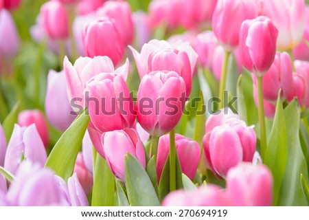 Tulips flower beautiful in garden plant