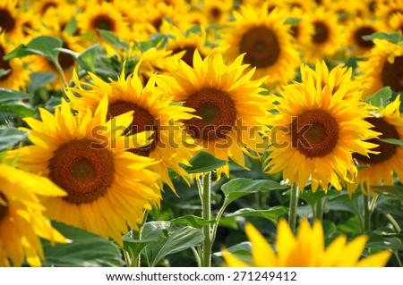 Sunflower field #271249412