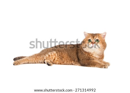 British gold ticked cat with green eyes on a white background.  #271314992