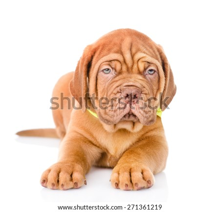 Bordeaux puppy dog lying in front. isolated on white background #271361219