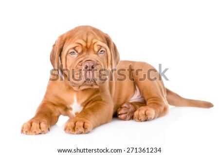 portrait of lying  Bordeaux puppy dog. isolated on white background #271361234