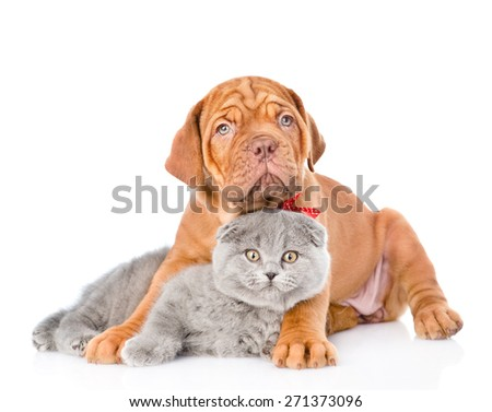 Bordeaux puppy dog embracing gray cat. isolated on white background #271373096