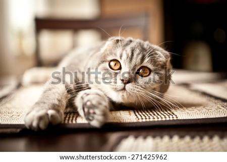 Lovable scottish fold cat #271425962