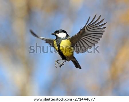 Autumn flight of the Great Tit (Parus major) near the feeder #271444877