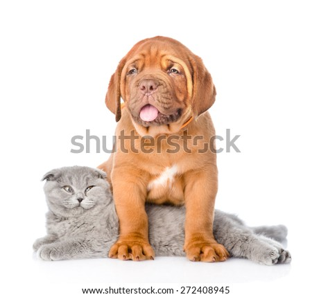 Bordeaux puppy dog with gray cat. isolated on white background #272408945