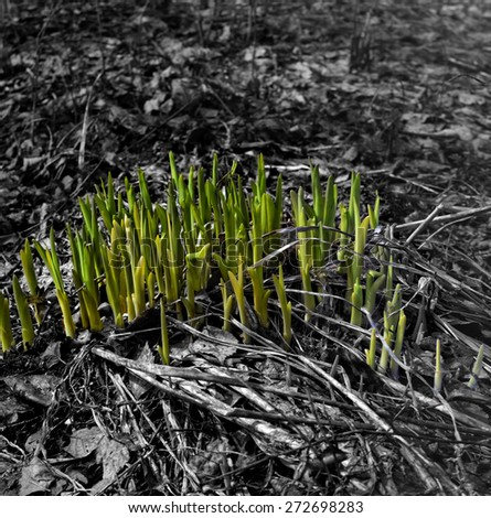 Springtime sprouts growth, digitally altered image with color accent on object, the rest converted in black and white