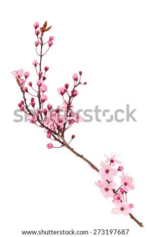 cherry blossom Sakura #273197687