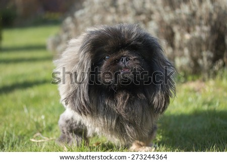 Pekingese dog is sitting on the grass and looking at camera. #273244364