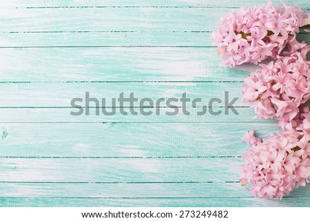 Fresh pink flowers hyacinths in ray of light  on turquoise painted wooden planks. Selective focus. Place for text.