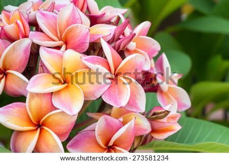 white , pink and yellow Plumeria spp. (frangipani flowers, Frangipani, Pagoda tree or Temple tree) #273581234