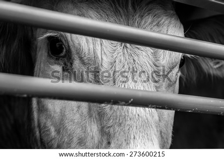 pleading eyes of cows behind fence #273600215