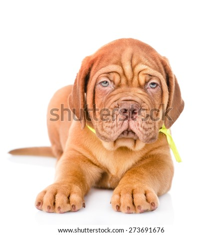Closeup Bordeaux puppy dog lying in front. isolated on white background #273691676