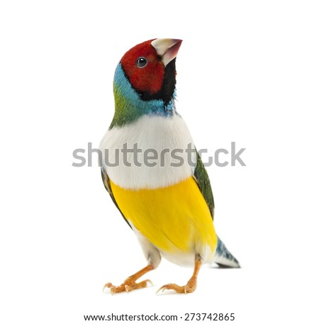 Gouldian Finch, Erythrura gouldiae, in front of a white background Royalty-Free Stock Photo #273742865
