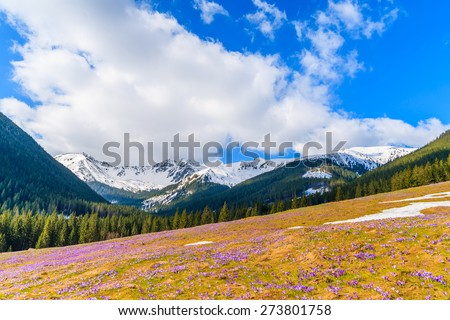 Meadow with blooming crocus flowers in Chocholowska valley in spring, Tatra Mountains, Poland #273801758
