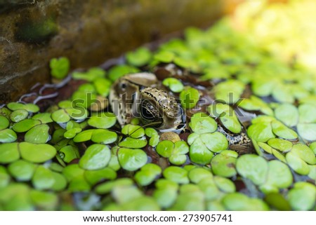 Toad in a pond, covered by duckweed #273905741