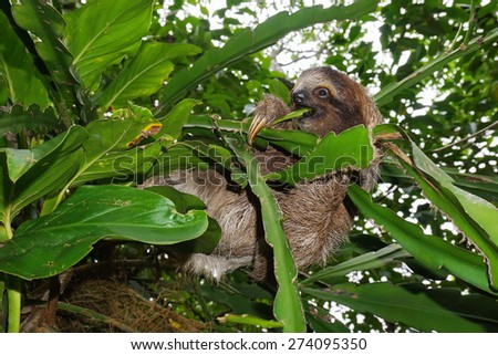 Young three-toed sloth eating a leaf in the jungle of Costa Rica, wild animal, Central America