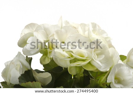 white begonia flowers closeup in the study #274495400