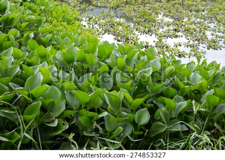 Green water hyacinth in the riverbank #274853327