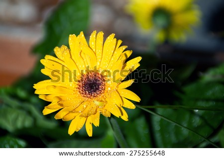 Eye level view of a yellow- orange Gerbera flower in bloom after rain in the sunshine. #275255648