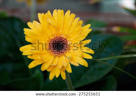 Eye level view of a yellow- orange Gerbera flower in bloom after rain in the shade. #275255651