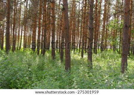 Summer landscape, forest with pines #275301959
