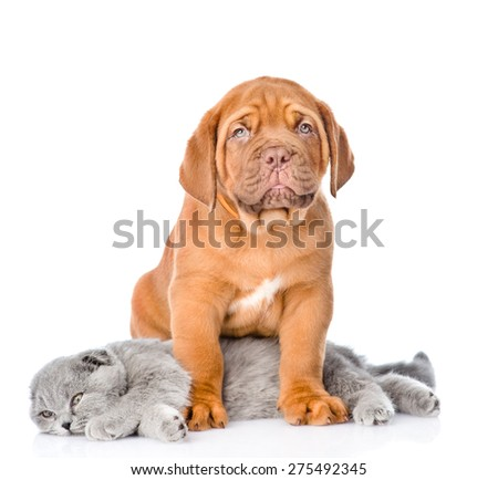 Bordeaux puppy dog with gray cat. isolated on white background #275492345