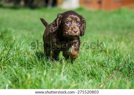 Cocker Spaniel Puppy #275520803