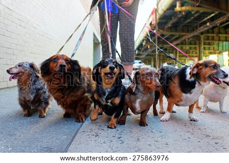 Walking the pack/array of dogs, most dachshunds, being walked by single person in the background on city sidewalk #275863976