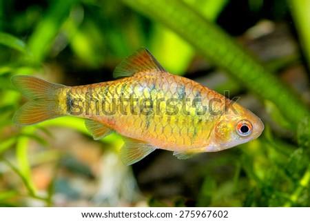 Puntius fish #275967602
