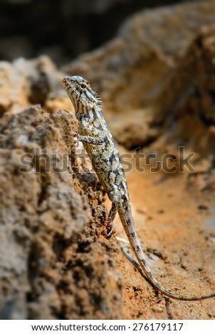 Oriental Garden Lizard #276179117