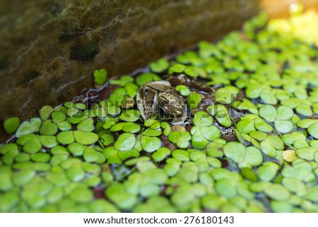 Toad in a pond, covered by duckweed #276180143