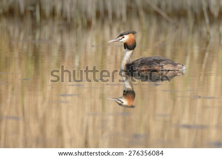 Great Crested Grebe, waterbird (Podiceps cristatus) #276356084