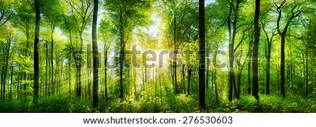 Panorama of a scenic forest of fresh green deciduous trees with the sun casting its rays of light through the foliage Royalty-Free Stock Photo #276530603