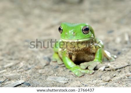 litoria caerula - green tree frog on ground #2766437