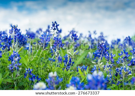 Blue Bonnet Flowers in a field. Focused on two stems Royalty-Free Stock Photo #276673337