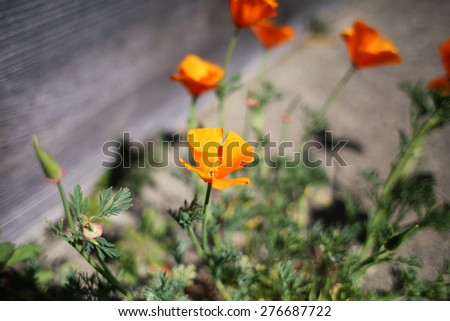 Orange poppies flowers in a patio garden in afternoon #276687722