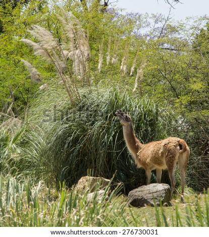 Vicuna, Vicugna vicugna, eating grass in Southern California in Spring,  #276730031