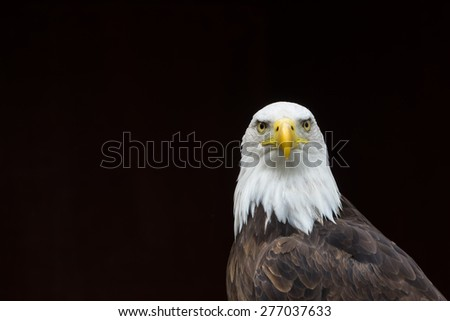 Isolated Bald Eagle portrait/Isolated Bald Eagle portrait/Isolated Bald Eagle portrait against a black background
