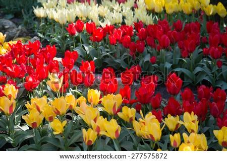 Spring flowers in the Keukenhof park in Netherlands #277575872
