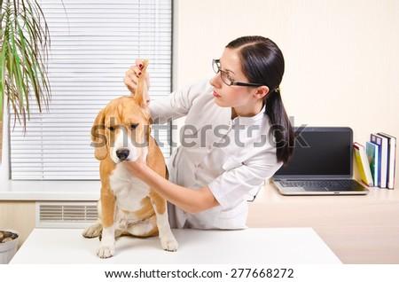 Vet examines the dog's ears of breed beagle #277668272
